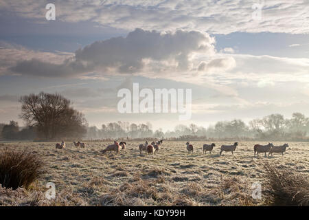 Sheep lit by early morning sunlight on a frosty morning in November. - Stock Photo