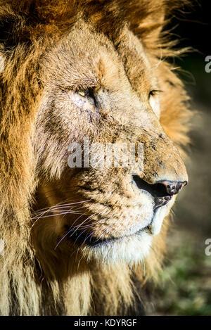 old lion portrait - Stock Photo