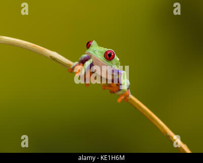 Callidryas or Red Eyed Green Tree Frog from Costa Rica - Stock Photo