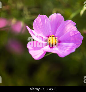 Purple Wildflowers in Fishguard Wales - Stock Photo