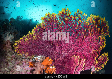 A purple sea fan is adorned with yellow fringe on a coral reef. - Stock Photo