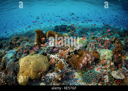 Reef fish swimming in a strong current near Alor in the Lesser Sunda Islands. - Stock Photo