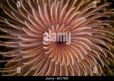 Detail of the spiral tentacles arrangement of a feather duster worm. - Stock Photo