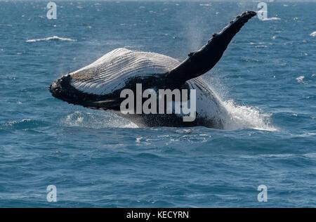 Humpback Whale (Megaptera novaeangliae)  breaching at Hervey Bay, Queensland, the whale watching capital of Australia. - Stock Photo
