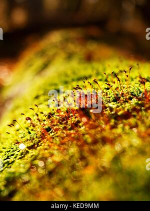Brown shinning needles in moss on the fallen tree. Leaves forest in fall season in background. - Stock Photo