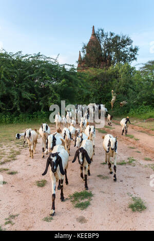 Herd of goats grazing near the ancient stupas and temples in Bagan, Myanmar - Stock Photo