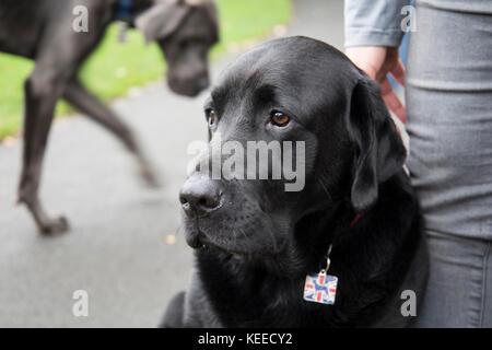 Grey Great Dane, Black lab, bull terrier in the park - Stock Photo