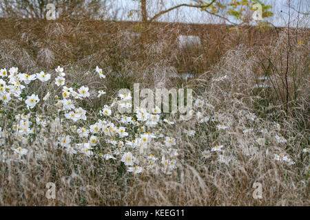 Anemone 'Honorine Jobert' / white japanese anemone amongst grasses - Stock Photo