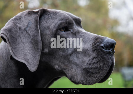 Silky Pewter Grey Great Dane (head shot park in background) - Stock Photo
