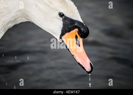 Close up of white swan drinking water in a lake,Uk - Stock Photo