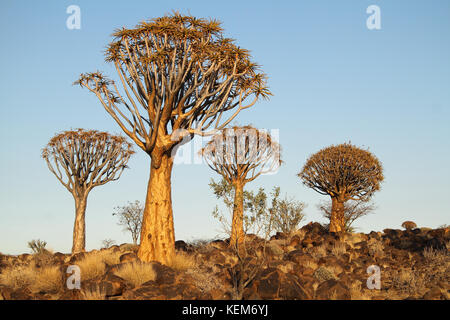 Quiver trees (Aloe dichotoma) in the Quiver Tree Forest, Namibia. - Stock Photo