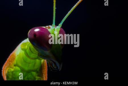 Praying Mantis head shot - Stock Photo