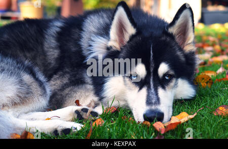 Siberian Husky with beautiful blue eyes, on a meadow in autumn, staring into camera - Stock Photo