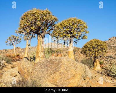 Kokerboom or Quiver Trees growing in the Goegap Nature Reserve in the Nothern Cape province of South Africa. - Stock Photo