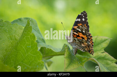 Painted lady butterfly Vanessa Cardui female laying an egg on a thistle filled with eggs - Stock Photo