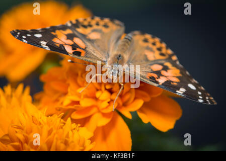 Painted lady Vanessa Cardui butterfly feeding on an orange marigold flower - top view - Stock Photo
