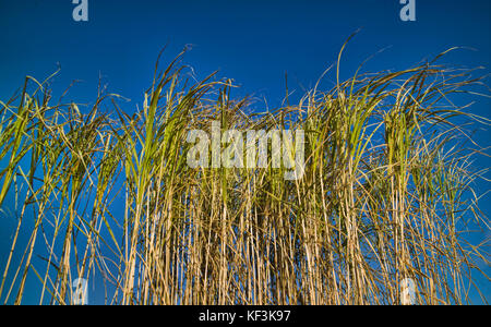 Miscanthus giganteus being grown for study and assessment at the UK Central Science Laboratory, York, UK - Stock Photo