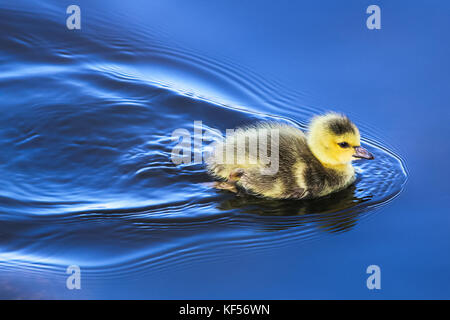 A baby gosling swims in mirror blue water. - Stock Photo