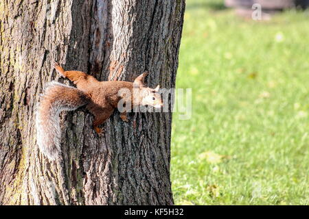 Squirrel on a Tree with copy space - Stock Photo