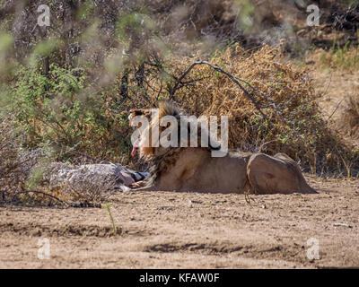 A male Lion with a Gemsbok kill in the Namibian savanna - Stock Photo