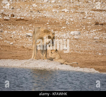A male Lion and cub together by a watering hole in the Namibian savanna - Stock Photo
