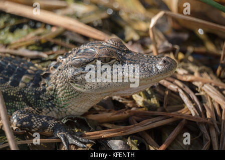 Young alligator in the marsh - Stock Photo