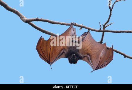 Golden-capped Fruit Bat - open wings at roost Acerodon jubatus Subic Bay Philippines MA003463 - Stock Photo