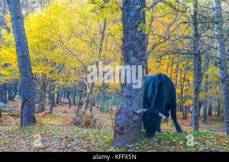 Black cow grazing in the forest. Canencia Mountain Pass, Madrid province, Spain. - Stock Photo