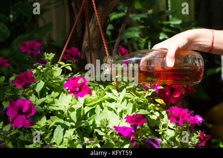 Female hand pours petunias in a pot with fertilizer prepared at home. Organic liquid fertilizer. Nutrition of indoor - Stock Photo