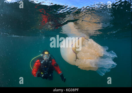 Diver with barrel jellyfish - Stock Photo