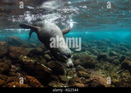 Bull Galapagos sea lion (Zalophus wollebaeki) underwater at Santiago Island, Galapagos, Ecuador, South America - Stock Photo