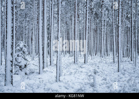 First snow is snowing at winter evening in forest Finland - Stock Photo