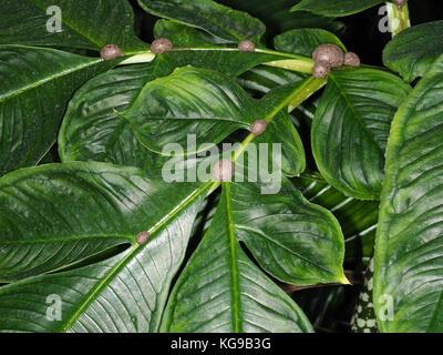 Typhonium venosum (Voodoo-lily or Arum cornutum) - Stock Photo
