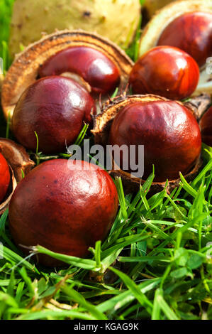 horse chestnuts open shells lying on grass - Stock Photo