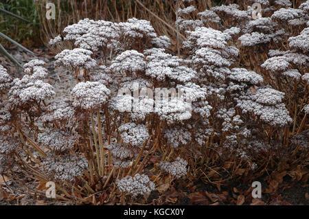 Frost on Flower seed heads. Sheffield, England; UK United Kingdom; Europe - Stock Photo