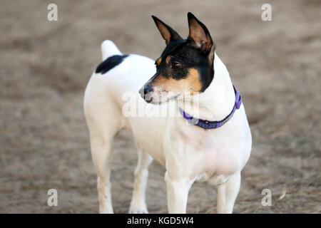 very muscular basenji mixed breed dog staring at a distance at a dog park - Stock Photo