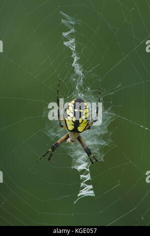 A Golden orb Weaver spider sitting on its web in Durham, NH. - Stock Photo