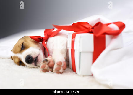 jack russel puppy with red bow - Stock Photo