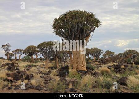 Quiver tree - Stock Photo