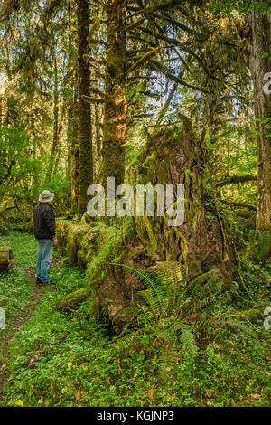 Hiker at fallen tree, roots covered with moss in rain forest, at Sams River Loop Trail, Queets Valley, Olympic National - Stock Photo