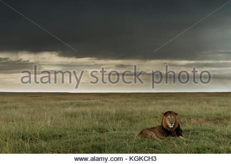 Male lion, Panthera leo, in Masai Mara National Reserve. - Stock Photo