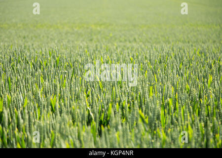 Fresh Crops Growing- Neues Getreide - Stock Photo