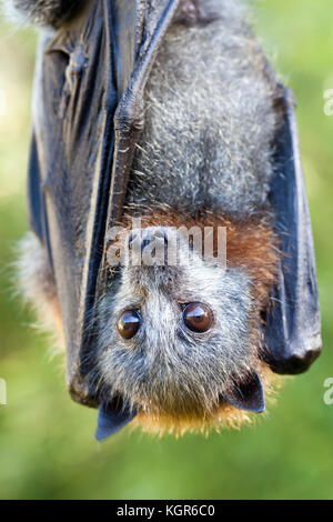 Grey-headed Flying-fox (Pteropus poliocephalus). Juvenile female in care recovering from barbed wire entanglement - Stock Photo