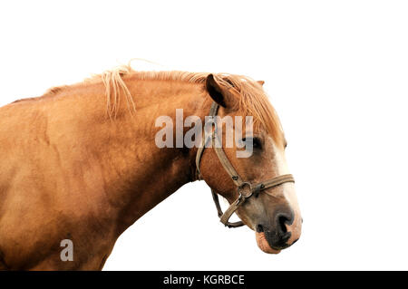 Horse head isolated on white background . - Stock Photo