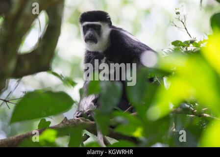 Female mantled guereza/ eastern black & white colobus mother feeding her baby in the canopy of a Ugandan forest. - Stock Photo