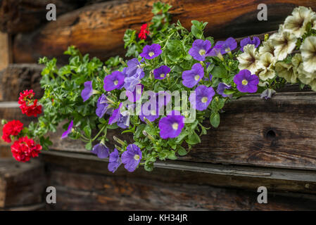 Typical flowers of petunia and cranesbills on an Swiss log house - Stock Photo