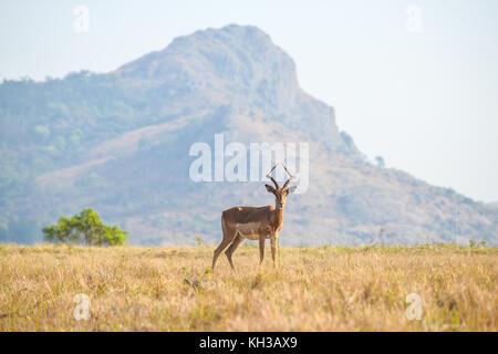 Lone male Gazelle in Mlilwane Game Reserve. - Stock Photo