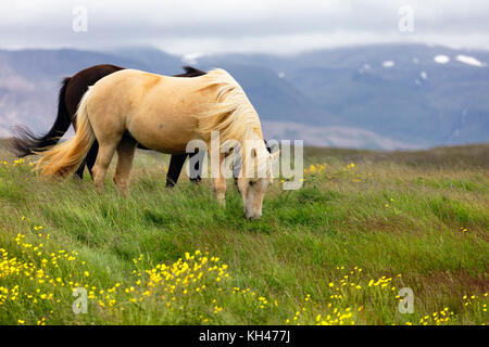 Horses Grazing on a Meadow, Iceland - Stock Photo