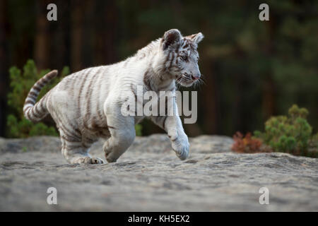 Bengal Tiger ( Panthera tigris ), white, young animal, adolescent, running, jumping over some rocks along the edge - Stock Photo