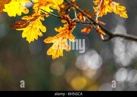 Eichenblätter im Herbst, Rahme,Hintergrund für eine Trauerkarte - Stock Photo